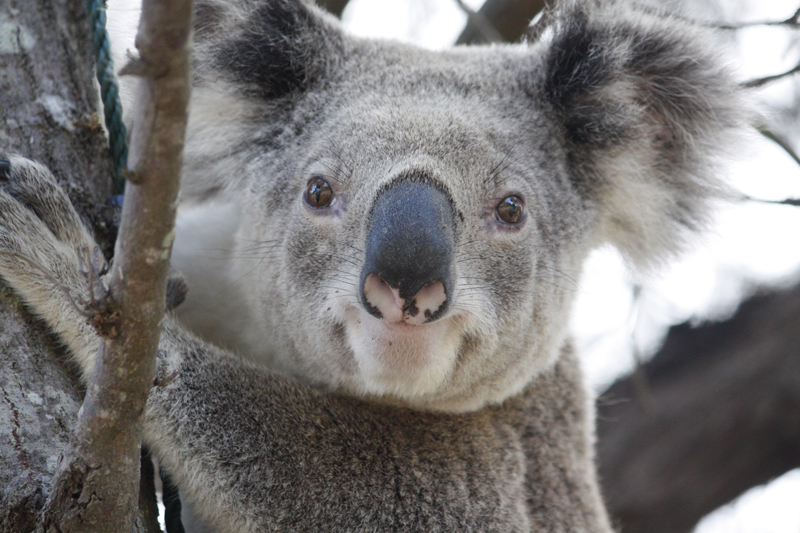 Protecting Wildlife and Koalas with Koala Crossing and Wildlife Smart Signs